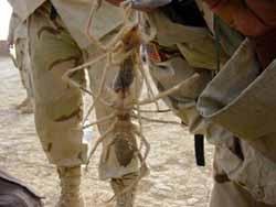 La Araña Camello